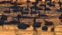 Swans at Welney