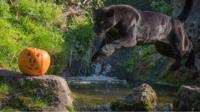 Animals at Chester Zoo have been feasting on seasonal treats this week.