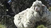 Very woolly sheep
