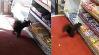 Squirrels stealing chocolate bars