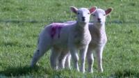 A study is testing the ethical and cost benefits for farmers of using drones to herd sheep.
