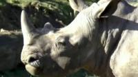 Белый носорог Винс