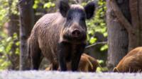 Some wild boar have escaped from farms and there are concerns they could be a risk to people.