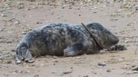 The seal named Relashio was close to death when he was rescued in May.