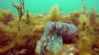 A cuttlefish on the sea floor