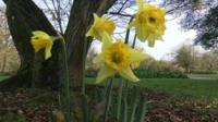 Early sprouting daffodils