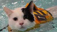 Elf the cat going for a swim