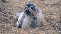 Grey seal at Blakeney Point