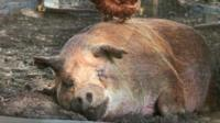 A pig lying down on the Chester's farm in a scene from The Biggest Little Farm