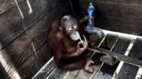 Orangutan in wooden cage