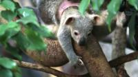 Cute Alert! Check out this baby koala