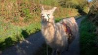 Llama delivering shopping