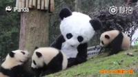 Tratador fantasiado com bebês pandas
