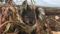Koala in plantation