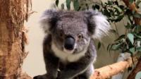 Южноавстралийские коалы добрались до Европы.