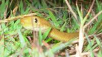 Brown tree snake (James Stanford)