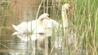 Swans at Woodwalton Fen