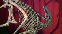 New species of dinosaur on display