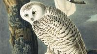Snowy owl painted by John James Audubon