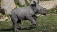 Baby southern white rhino