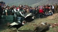 Condors being released back into the wild up in Chile's Andes