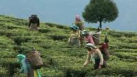 Workers picking tea in fields
