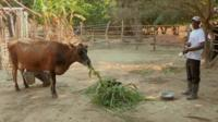 Cow in Zambia