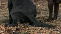 A black Labrador wagging its tail