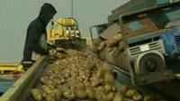 Person sorting potatoes