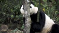 Panda hiding behind a tree