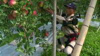 An 68-year-old apple farmer wearing bionic suit picks apples