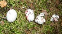Birds eggs damaged by poachers and gamekeepers.