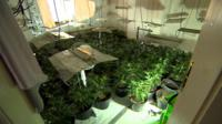 A cannabis farm