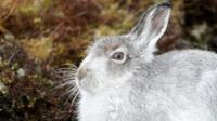Mountain hare (c) Will Nicholls