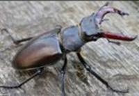 Stag Beetle Bite | www.pixshark.com - Images Galleries ...