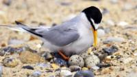 A little tern with eggs