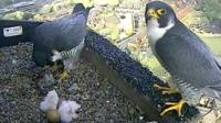 Peregrine falcons with chicks at Norwich Cathedral