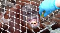 Orangutan having its teeth checked
