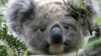 Koala (C) Natalie Briscoe