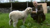 James the Cotswold Longwool sheep