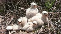 Hen harrier chicks