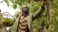 Man picking khat