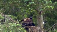 Sea eagle raids