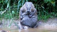 Beaver: Tom Buckey
