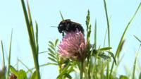 Short-haired bumblebee at Dungeness in Kent