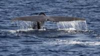 Blue whale fin
