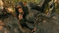 Sonso chimps using leaf sponges (c) Catherine Hobaiter