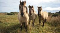 Konik ponies (c) Victoria Gill