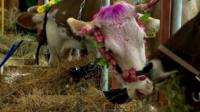 Cows at Russia's Agricultural Fair.