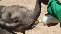 An elephant calf